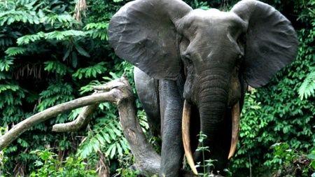 Hindistan'da 28 fil koronavirüse yakalandı
