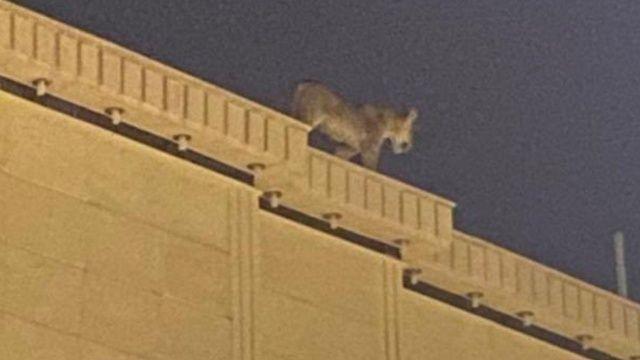 Evin çatısında başıboş aslan