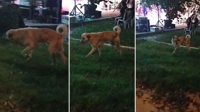 Müziğin ritmine kapılan köpek dans etti