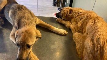 6 köpeği acımasızca zehirlediler