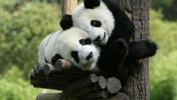 Çin'den dev panda kararı: Artık nesli tehlike altında değil