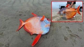 Dev Opah balığı sahile vurdu bilim insanları bile şaşırdı