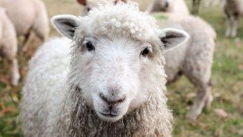 Kurban nasıl dağıtılır? Kurban eti ihtiyaç sahiplerine nasıl pay edilir?