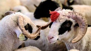 Kurbanlık hayvan tartı ile alınır mı? Kurban alırken dikkat edilmesi gerekenler