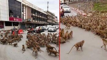 Maymunlar sokağa indi birbirleriyle savaşıyor