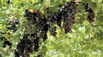 Türk mühendisleri geliştirdi! Efem üzümünde ilk hasat yapıldı