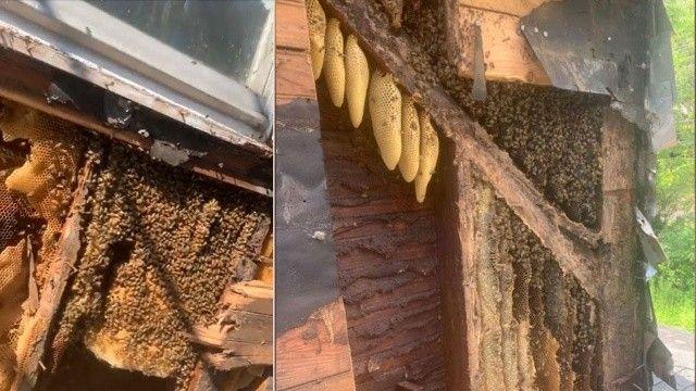 35 yıl boyunca koloni kurmuşlar evin duvarlarından 450 bin tane arı çıktı