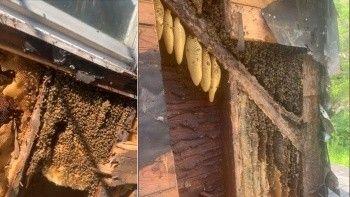 Evin duvarlarından 450 bin tane arı çıktı