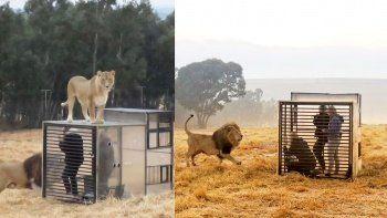 Aslan barınağında işler tersine döndü: İnsanlar kafeslere girdi