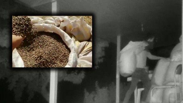 Pes dedirten hırsızlık! Yanan ormanlar için getirilen tohumları çaldı