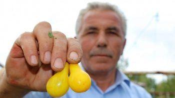 Şekli armut tadı domates: Görenler şaşırıyor