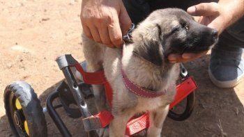 İnsanlık ölmemiş: Patileri ezilen köpeği yürüteç ile ayağa kaldırdı