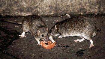 İstila başladı: Kedi büyüklüğünde sıçanlar tuvaletten geliyor!