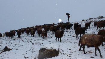 Koyun sürüsü kara yakalandı