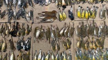 Göç yolunda 'medeniyet'e çarptılar: New York sokakları ölü kuşlarla doldu