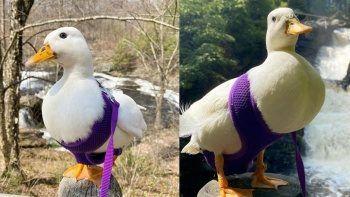 TikTok fenomeni ördeğin kazancı şaşırttı: Ayda 4 bin 500 dolar