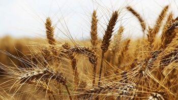 Ekonomik krizdeki Afganistan'da 'buğday'la maaşla ödeyecek