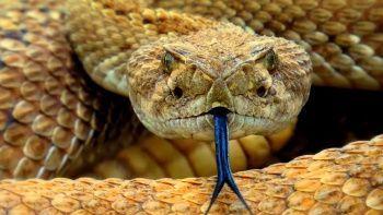 Eve yuva yapmışlar! Döşeme tahtaların altından onlarca çıngıraklı yılan çıkarıldı