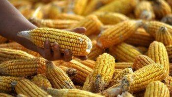 TMO, 325 bin ton mısır ithalatı yapacak
