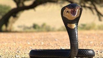 Zehirli kobra kiralayıp eşini öldürdü