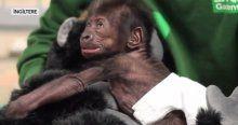 Sezartenle doğan goril 7 haftalık