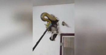 Duvara gizlenen dev piton böyle çıkarıldı