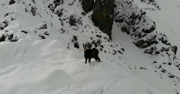 Karla kaplı dağda çengel boynuzlu dağ keçisinin drone ile imtihanı
