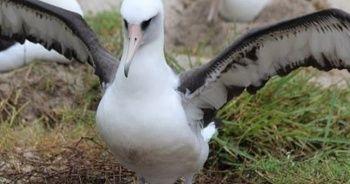 Dünyanın en yaşlı Albatrosu 68 yaşında ve hala her yıl bir yavru yetiştiriyor