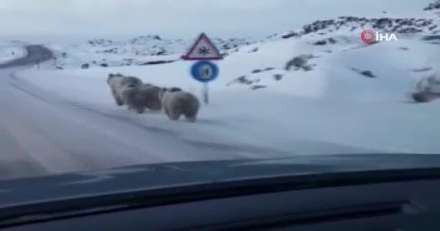 Yiyecek bulamayan ayılar yola indi
