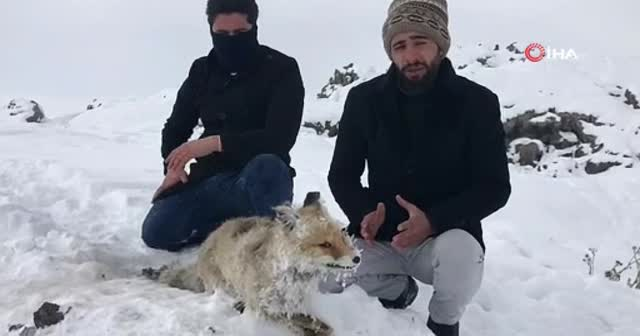 Çaldıran'da Sibirya soğukları tilkiyi telef etti