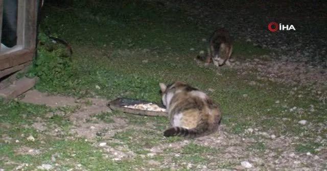 Fareler kedilerin yemeğine dadandı