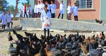 Liseliler tavuk yetiştiriyor