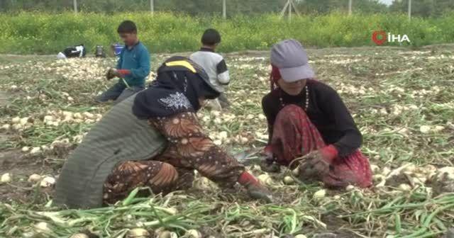 Öğretmen olmak isteyen Sıdıka, soğan tarlasında çalışıyor