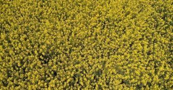 Marmara'da tarlalar sarıya büründü