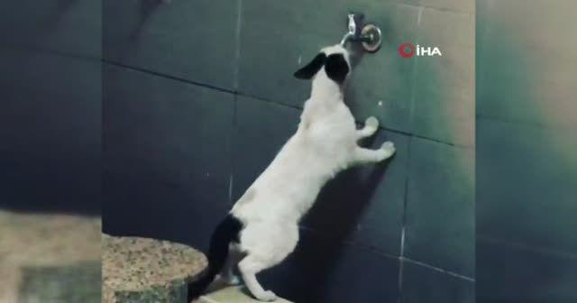 Sıcaktan bunalan sevimli kedi akmayan musluktan su içmeye çalıştı