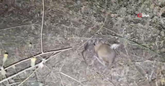 Dünyanın en ilginç 19 hayvanından biri Bitlis'te görüldü