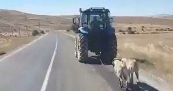 İki köpeği traktör arkasına bağlayarak sürükledi