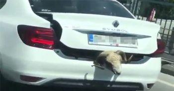 Kurbanlık koyunu otomobil bagajında böyle taşıdı