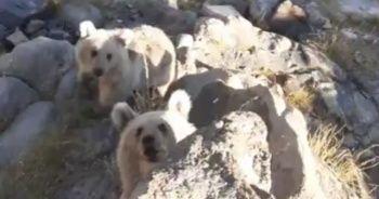 Nemrut'un minik ayıları piknikçilerin sofrasına konuk oluyor
