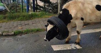 Kafasına araba lastiği takılan ineği vatandaşlar böyle kurtardı