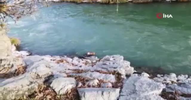 Şemdinli'de su samuru görüntülendi