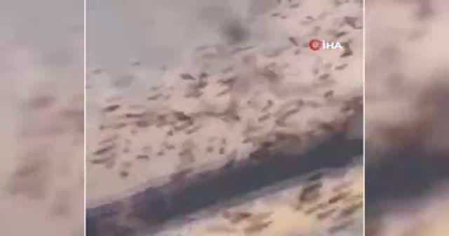 Suudi Arabistan'ın doğusunu çekirgeler bastı