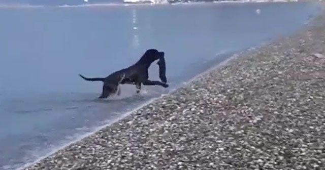 Tatilcilerin denizdeki atıklarını köpek topladı