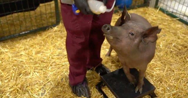 Beynine çip yerleştirilen domuzlar tanıtıldı