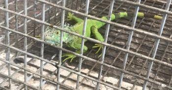 Taksici durakta iguanayı görünce şaştı kaldı