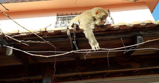 İzmir'de başı boş gezen maymun görenleri şaşırttı