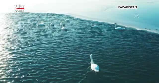 Kuğu sürüsü eşsiz bir seyir oluşturdu