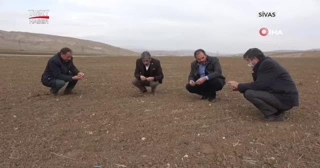 Buğday hasatı için kritik son 15 gün