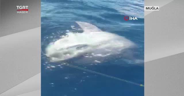 Oltaya 400 kilogramlık ay balığı takıldı