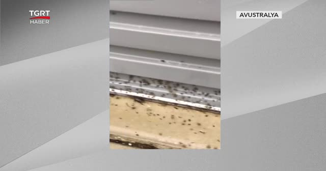 Zehirli örümcek alarmı verildi